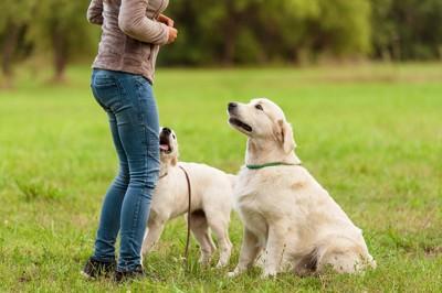 コマンドを聞いている2匹の犬