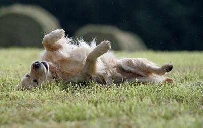 草原にこすりつける犬