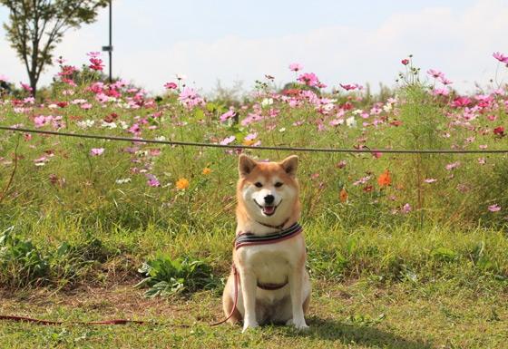 公園のコスモスと柴犬