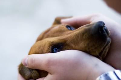 不安そうに手で顔を包まれる犬