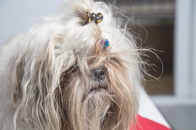 長い毛がもつれてしまっている犬