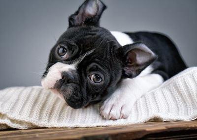 うつ伏せになっているボストンテリアの子犬