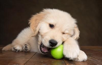 ボールを噛んでいるゴールデンの子犬