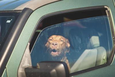 車内にいる茶色い犬