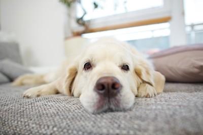 ソファーで伏せている犬