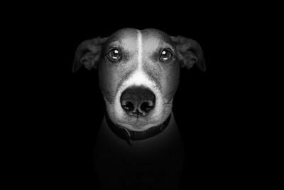 モノクロ写真、ジャックラッセルテリアの顔のアップ
