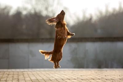 ジャンプするダックス