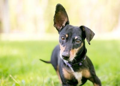 片耳を立てる黒のミックス犬