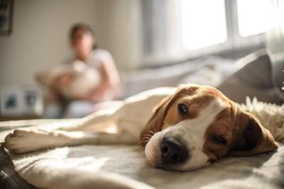 ソファーで寝そべる犬とひっそり見守る飼い主