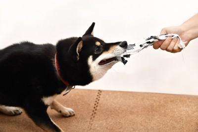 黒い柴犬と引っ張り合いをする人の手