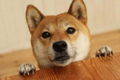 可愛い柴犬
