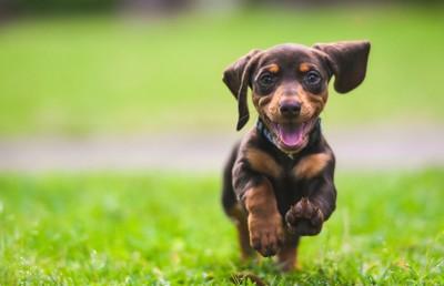 草原を走るダックスフンドの子犬