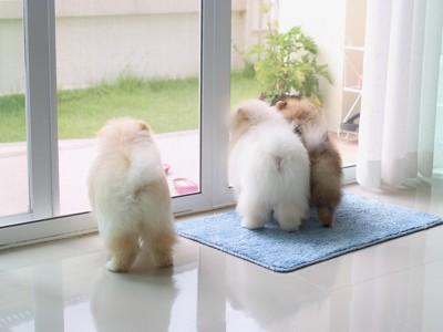 お外を見ている3匹のポメラニアン