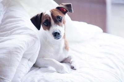 ベッドに居る犬
