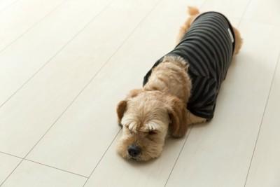 フローリングの床で眠る服を着た犬