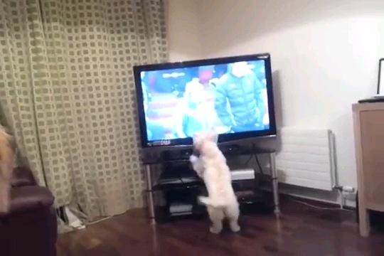 テレビの前に立つ白い犬 手前端に茶色の犬