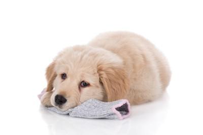 靴下を顎の下に敷く犬