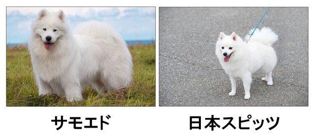 サモエドと日本スピッツの比較