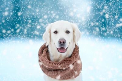 雪が降る中でマフラーをした犬