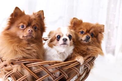 カゴに入った小型犬たち