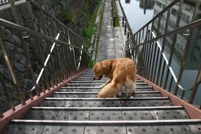 急な階段を下りるゴールデンレトリバー