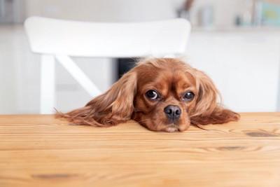 テーブルにあご乗せして見つめる犬