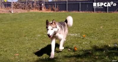 元気に走るハスキー犬