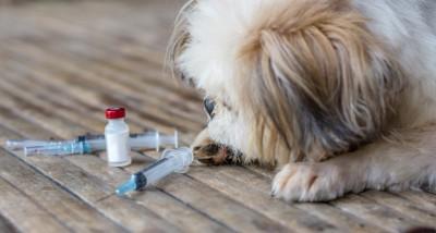 注射器を見つめる犬