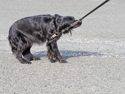歩こうとしない犬