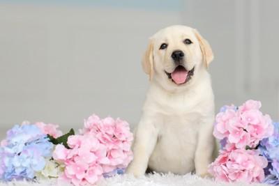 アジサイとラブラドールレトリーバーの子犬