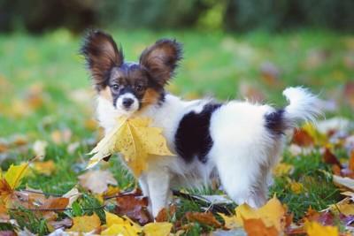 落ち葉を咥えているパピヨン