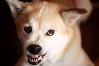 歯をむいて怒る白×茶の犬