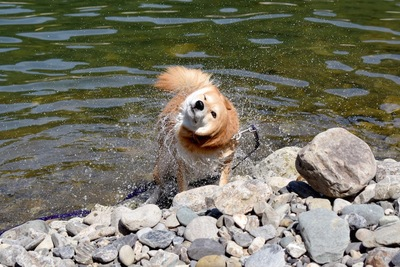 水辺でブルブルする犬