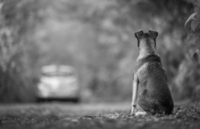 遠ざかる車を見る犬