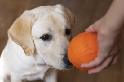 ラブラドールとオレンジ色のボール