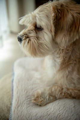 白いブランケットの上に座る犬の横顔