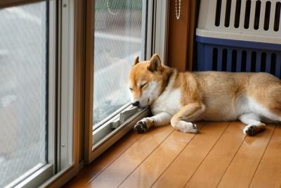 窓ガラスを枕代わりに寝る柴犬