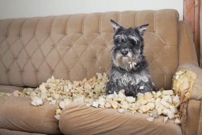 ボロボロのソファーの上に座る犬
