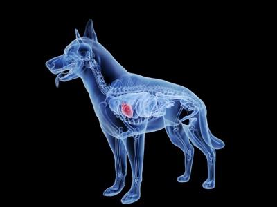 犬の心臓の図