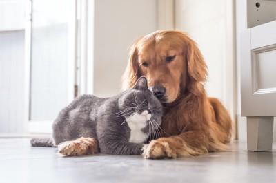 ゴールデンレトリバーに甘えるグレーの猫