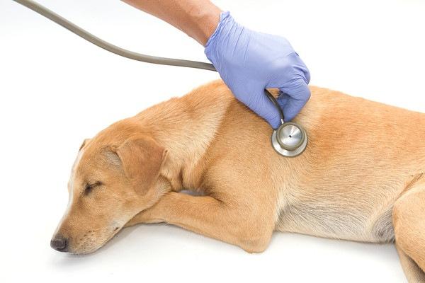 聴診器をあてられている犬