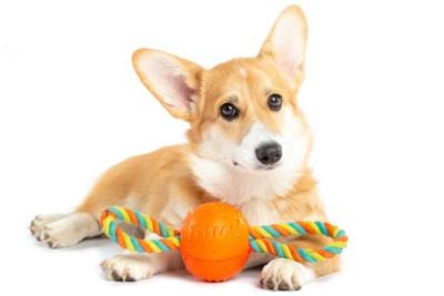 コーギーとオレンジ色のおもちゃ