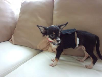 保護犬チワワ