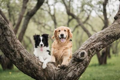 木の太い枝の間に立つゴールデンレトリバーとボーダーコリー