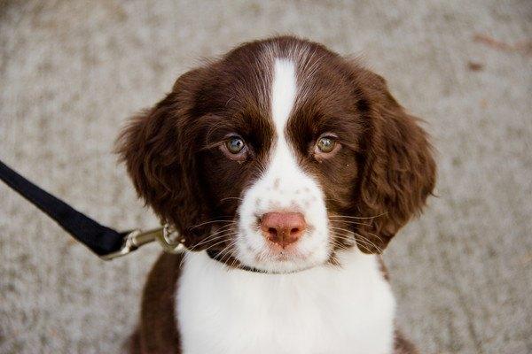 首輪の付いたイングリッシュスプリンガースパニエルの子犬
