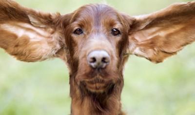 耳の大きな茶色い犬