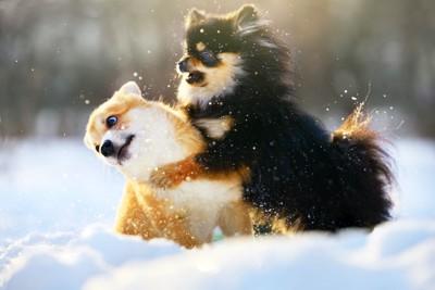雪の上でじゃれ合うチワワとコーギー