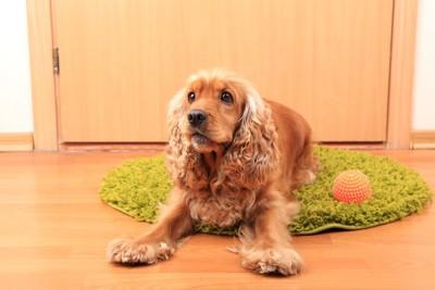 ドアの前でおもちゃを持つ犬