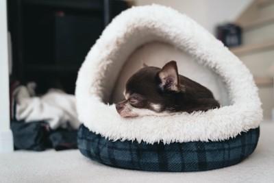 ドーム型の犬用ベッドで眠るチワワ