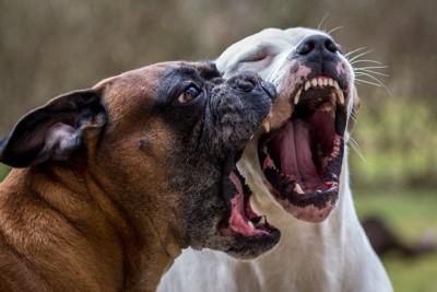大きな口を開ける2頭の犬